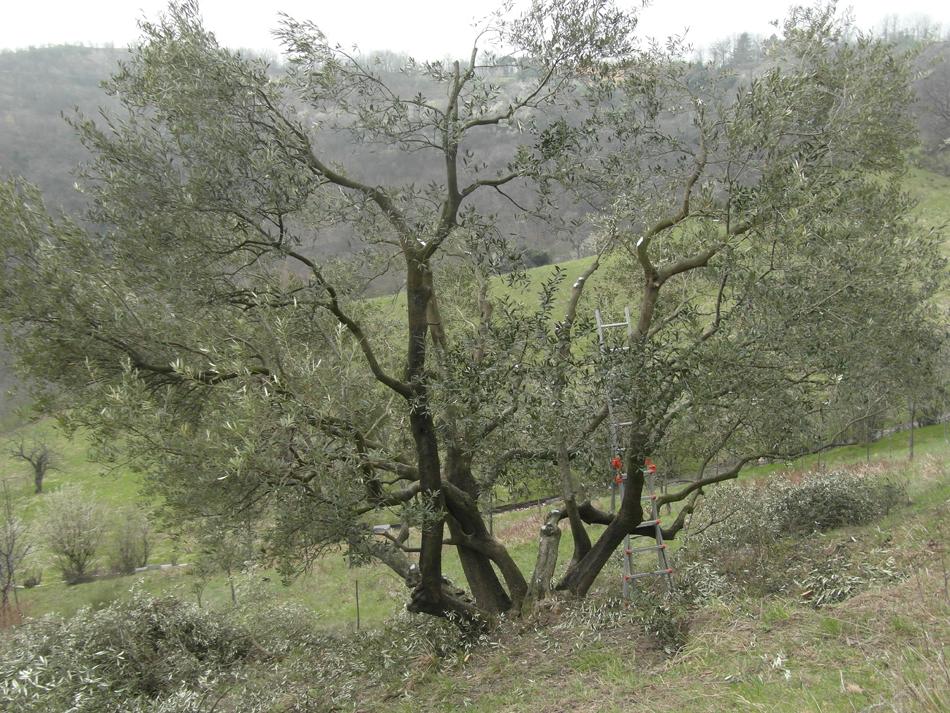 Lavori giardiniere bologna - Siepe di ulivo ...